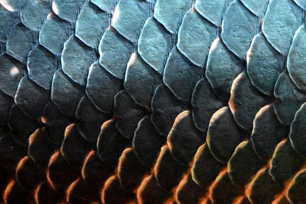 ピラルクの鱗